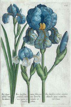 Iris Angustifolia, Michael Valentini, 1719, hand colored copperplate engraving, The Viridarium Reformatum is an important collection of botanical illustrations by a number of artists, Johann Theodor de Bry most prominent among them. It is thought that Valentini, a physician, professor of medicine and collector of natural history specimens, had acquired de Bry's plates from his famous Florilegium renovatum et auctum of 1641, done in collaboration with son-in-law Matthäus Merian.