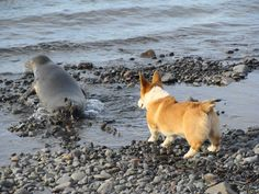 """""""Don't go! Let's play some more!"""" Pembroke Welsh Corgi makes a new friend at the beach."""