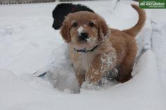 Hovawartwelpen erleben den ersten Schnee. Labrador Retriever, Dogs, Animals, Puppys, Snow, Pet Dogs, Labrador Retrievers, Animales, Animaux