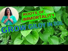How to grow giloy in soil/गिलोय को मिट्टी में कैसे लगाएं - YouTube Medicinal Plants, Agriculture, Roots, Medicine, Youtube, Healing Herbs, Medical, Herbs