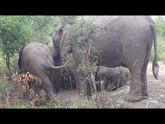 Funny Elephant calfs kicking smack down way - YouTube Elephant Gif, Adopt An Elephant, Funny Elephant, Baby Elephant, Elephant Videos, Zebras, Giraffes, Wild Creatures, Best Memories