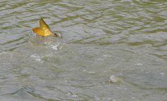 Carp were spawning in rambunctious splashing gangs all around. Leica V-lux 3 #biggestweek https://www.facebook.com/photo.php?fbid=444659688895742=a.444659055562472.117192.355103211184724=3