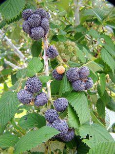 Mysore Raspberry (Rubus albescens) Anestor Mezzomo
