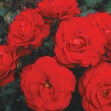 EUROPEANA | Roses by Name | Shades of Red | Floribunda