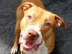 TO BE DESTROYED - 05/13/14 Manhattan Center -P  My name is MAX. My Animal ID # is A0998782. I am a male tan and white pit bull mix. The shelter thinks I am about 1 YEAR   I came in the shelter as a OWNER SUR on 05/05/2014 from NY 10457, owner surrender reason stated was PET HEALTH.