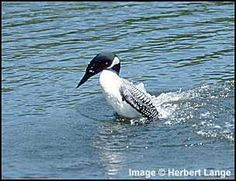 When disturbed the loon folds its wings against its body and swims upright in what is called a penguin dance.