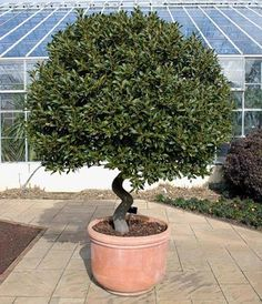 Bay Laurel, Sweet Bay [fondly hope to have a bay tree in the greenhouse asap! wsh]