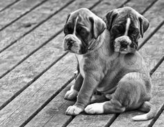 most amazing dogs in the world! boxers <3