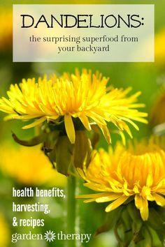 Beginner Gardening Stop fighting dandelions and celebrate them for the superfood they are! - Put all biases aside on humble dandelions. It's not just a weed marring your lawn. It's a nutrient rich edible you should try in your next salad.