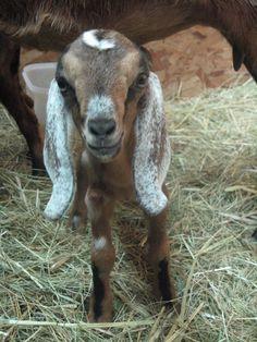 Cutest Nubian Ears (Dumbo)