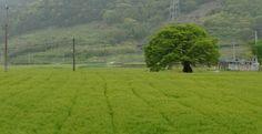 보리밭과 느티나무