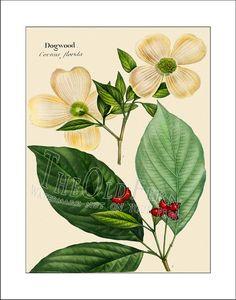 Dogwood Print Vintage Leaf Print Antique Maple Tree by TheOldFern, $12.00