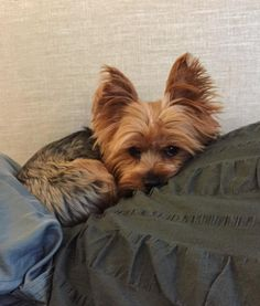 They're constantly curling up and hiding away in little nooks and crannies. | 21 Reasons Why You Should Never Own A Yorkshire Terrier #yorkshireterrier