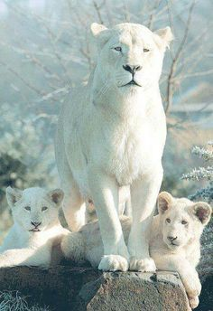 Wonderful white lion family