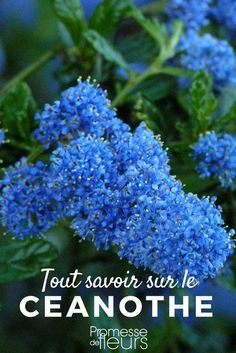 The ceanothe or California Lilac is a beautiful shrub with blue flowers. Source by pierardcatherin Garden Trellis, Garden Planters, California Lilac, Small Trees For Garden, Flower Garden Plans, Garden Storage Shed, Hydrangea Care, Potted Trees, Plant Needs