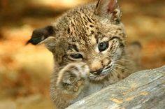 animales en peligro de extinción: El lince iberico.