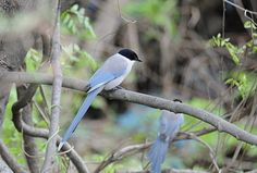 Cyanopica cyana/Azure-winged magpie/オナガ/resident bird