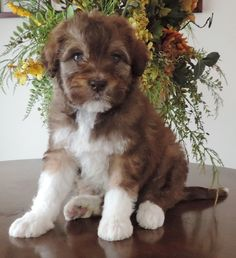 Bordoodle Puppies for sale