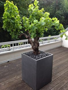 Image'In cubic planters with a patina of zinc imitation ! Terrace Garden, Garden Spaces, Potted Plants, Garden Plants, Plant Pots, Grape Vine Plant, Landscape Design, Garden Design, Terrasse Design