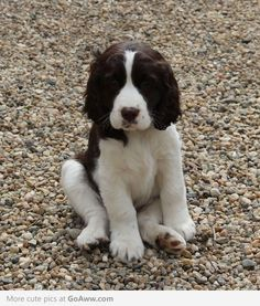Springer spaniels are the best dogs!!