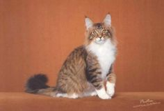 "Quad Grand Champion Michelangelo (""Mikey"") is a gorgeous Maine Coon ready to retire from showing and breeding.  Born in August 2008 so he's got lots of life ahead of him.  Now available from Psycatics Maine Coons in Iowa."