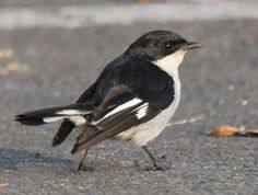 The Fiscal Flycatcher, Sigelus silens, is a small passerine bird in the Old World flycatcher family. It is a resident breeder in Botswana, South Africa, Lesotho, Mozambique and Swaziland, and a vagrant to Namibia.