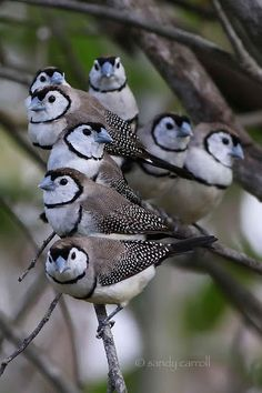 Owl Finch (also known as Double-barred or Bicheno)