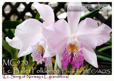 Lc. Ballet Folklorico 'Eloquence' HCC/AOS (Lc. Song of Norway x L. grandiflora)