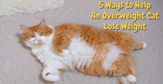 5 Ways to Help An Overweight Cat Lose Weight