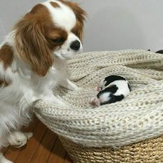 Mama lovingly gazing at baby King Charles Puppy, Cavalier King Charles Dog, King Charles Spaniel, Baby Animals Super Cute, Cute Little Animals, Cute Dogs And Puppies, Doggies, Cavalier King Spaniel, Cockerspaniel