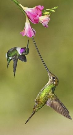 Acrobatics Hummingbirds! Swordbill and Purple-throated Wood-star Hummingbird.