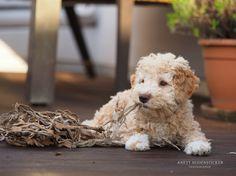 Anett Seidensticker - Photographie - Podgi & Beppa Lagotto Romagnolo, Sheltie, Border Collie, Nature Pictures, Cute Animals, Puppies, Group, Board, Dogs