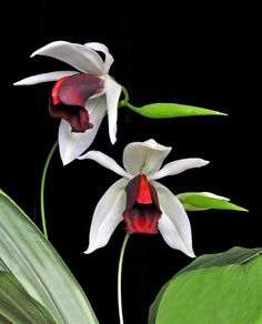 Coelogyne usitana: This striking species was only discovered in 2001. Found on the island of Mindanao in the Philippenes growing at elevations of 800 meters or so - Flickr - Photo Sharing!