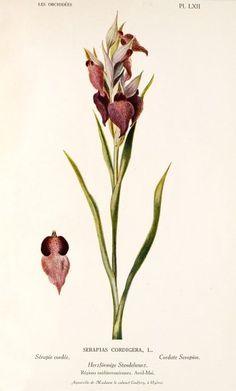 Serapias cordigera L.  1923