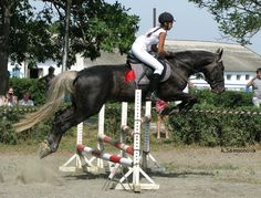 Sooty Gene   sooty palomino - Standardbred stallion Призрак (Prizrak) - I ...