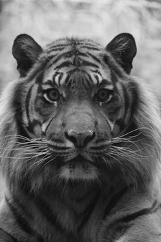 photo i took of tiger at  rotterdam zoo