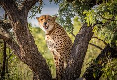 Cheetha in the tree by Quint Kloppers In The Tree, Big Cats, Animal Kingdom, Animals Beautiful, Africa, Wild Animals, Amazing, Photos, Beauty
