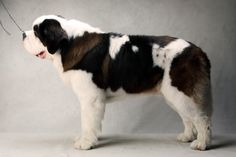 Aristocrat the St. Bernard (Working). Aristocrat, registered as Jamelles Aristocrat V Elba RN CGC, is owned by Linda Baker and Edward Baker. (Fred R. Conrad, a New York Times photographer, set up a studio at the 2013 Westminster Kennel Club dog show and invited Best of Breed winners to pose.)