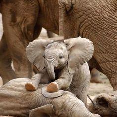 bébé Elephants