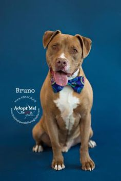 Bruno - URGENT - Valley Oak SPCA in VISALIA, CA - ADOPT OR FOSTER - 5 year old Neutered Male American Pit Bull/Lab Retriever Mix