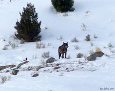 Yellowstone's Canyon Wolf Pack: Together Again! | Leo Leckie | Pulse | LinkedIn