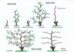 How to Prune Grapes.  Winter pruning from infancy to fourth year.