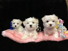 Maltese Puppies 2 Male & 1 Female Tiny Cute!!NO TEAR STAINS!!!
