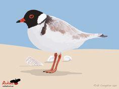 Hooded-Plover-beach.jpg (1023×767)