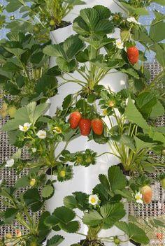 Can't wait to plant strawberries, veggies and herbs in my Tower Garden!!! www.jsandora1.towergarden.com #HydroponicsGardening