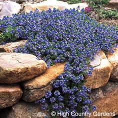 Veronica pectinata | Wooley Speedwell is one of our finest xeric groundcovers. Growing with long stems of wooly evergreen foliage, the plants cover themselves with blue aging to lavender-blue flowers in early to mid-spring.