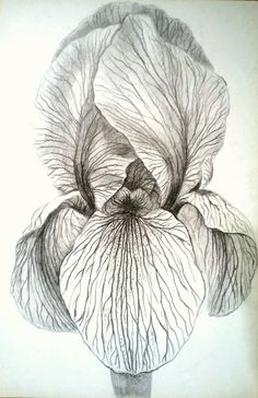 Original drawing on paper pencil black and white Iris flowers botanical Iris Drawing, Floral Drawing, Plant Drawing, Iris Painting, Painting & Drawing, Watercolor Paintings, Painting Abstract, Acrylic Paintings, Flower Line Drawings