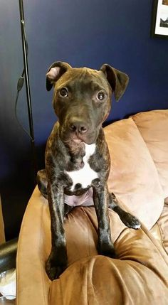 bridgeport, CT - Staffordshire Bull Terrier  Meet Jersey a Dog for