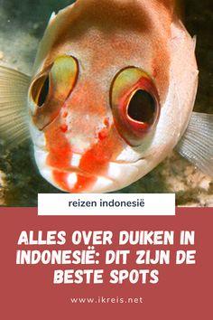 Wil je verschillende duiklocaties in Indonesië combineren? Ga dan eiland hoppen! Indonesië heeft een goed netwerk van boot- en vliegverbindingen. In deze blog deel ik meer informatie over duiken in Indonesië en mijn favoriete duikplekken. De afgelopen jaren maakte ik meer dan 100 duiken in Indonesië: ik heb veel duikplekken gezien van het uiterste westen tot het oosten van de archipel. Asia Travel, Pets, Animals, Animales, Animaux, Animal, Animais, Animals And Pets