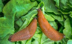 От нашествия этих вредных моллюсков каждый год страдают овощные и ягодные культуры, зелень и декоративные растения. Они настолько прожорливы, что способны подпортить большую часть урожая. Полностью из...